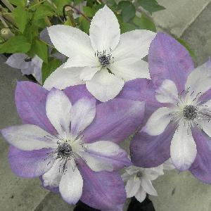 CLEMATIS 'Reflections' (evipoo 035)