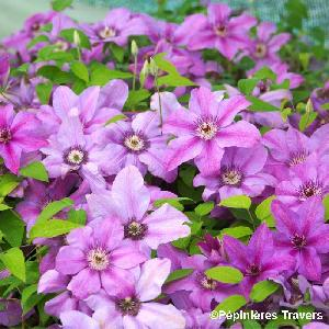 CLEMATIS Success® Candy