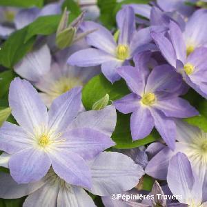 CLEMATIS 'Success®  Lavender'
