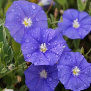 CONVOLVULUS 'Blue Cascade'