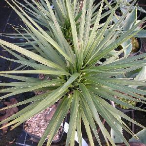 CORDYLINE australis ?Karo Kiri?®