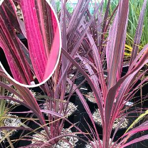 CORDYLINE banksii 'Electric Pink'