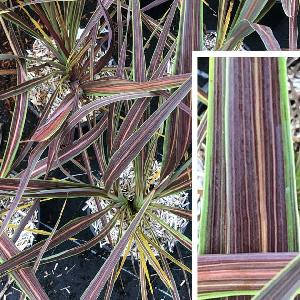 CORDYLINE banksii 'Electric Star'