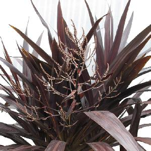 CORDYLINE 'Renegade'®