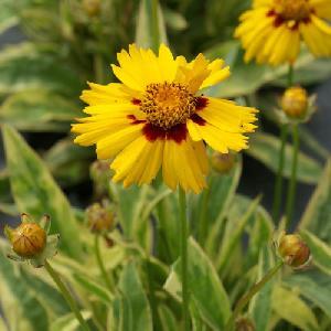 COREOPSIS grandiflora 'Calypso'