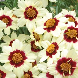 COREOPSIS 'Snowberry'®