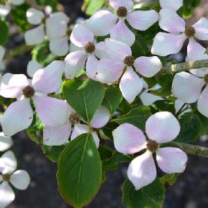 CORNUS kousa 'Wieting's Select'