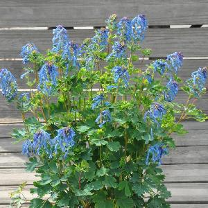 CORYDALIS 'Blue Line' ®