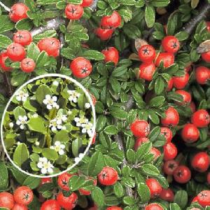 COTONEASTER 'Frierders Evergreen'