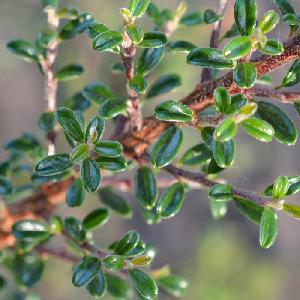 COTONEASTER linearifolius     (= microphyllus var. thymifolius)
