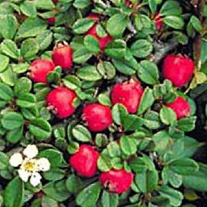 COTONEASTER (procumbens) 'Streib's Findling'