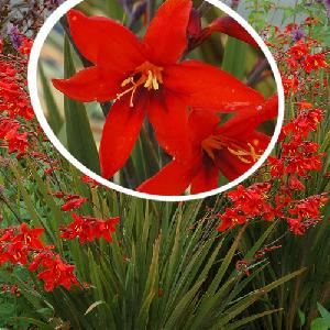 CROCOSMIA 'Twilight Fairy Crimson'