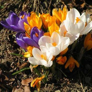 CROCUS vernus (lot de 10)