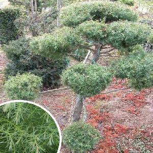 CRYPTOMERIA japonica 'Compacta' (en topiaire)