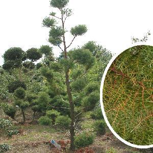 CRYPTOMERIA japonica 'Elegans' (en topiaire)