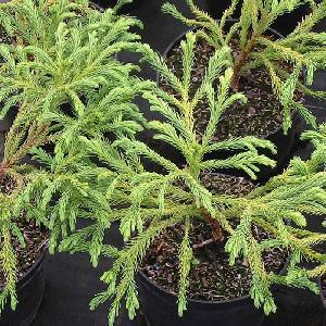 CRYPTOMERIA japonica 'Globosa Nana' C7