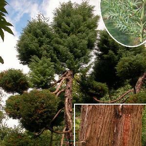 CRYPTOMERIA japonica (en topiaire)