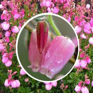 DABOECIA cantabrica 'Globosa Pink'