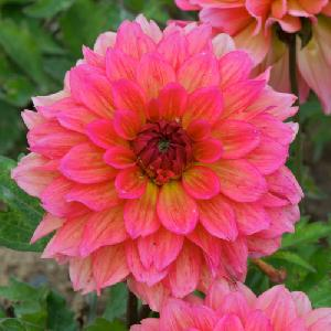 DAHLIA 'All Time Favourite'