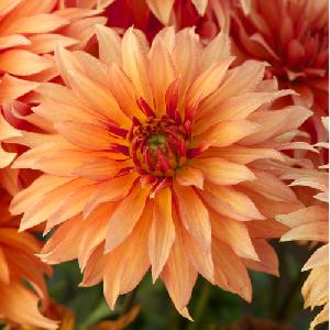 DAHLIA 'Autumn Fairy'