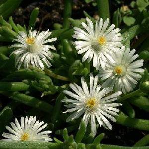DELOSPERMA 'Jewel of Desert Moon Stone'®