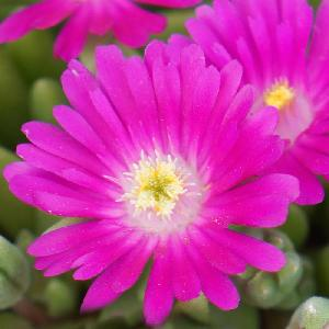 DELOSPERMA 'Jewel of Desert Opal'®