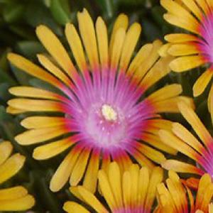 DELOSPERMA 'Jewel of Desert Sundella Orange'®
