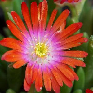 DELOSPERMA 'Jewel of Desert Sunstone'®