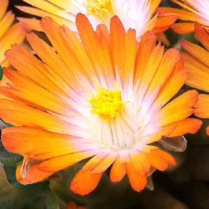 DELOSPERMA 'Jewel of Desert Topaz'®