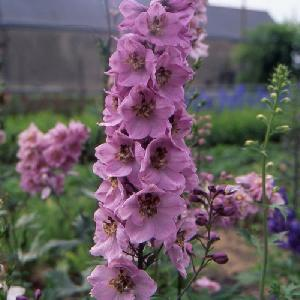 DELPHINIUM 'Astolat' (Pacific Giant Group)