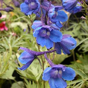 DELPHINIUM 'Bellamosum' (Belladonna Group)