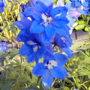 DELPHINIUM 'Blue Bird' (Pacific Giant Group)
