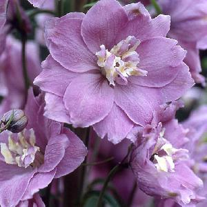 DELPHINIUM Pacific 'Blue Fountains'