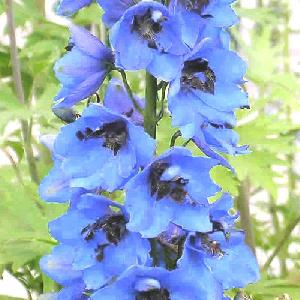 DELPHINIUM 'Blue Jay' (Pacific Giant Group)