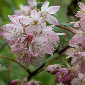 DEUTZIA x hybrida 'Perle Rose'