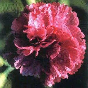 DIANTHUS 'Annabelle'