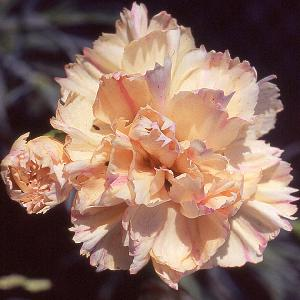 DIANTHUS 'Devon Cream'