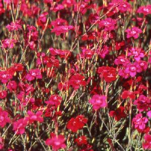 DIANTHUS deltoides 'Flashing Light' ('Leuchtfunk')