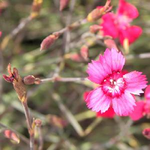 DIANTHUS deltoides 'Nelli'