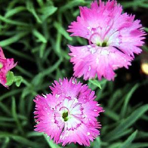 DIANTHUS gratianopolitanus (caesius)