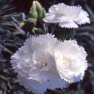 DIANTHUS 'Haytor White' (Plumarius Group)