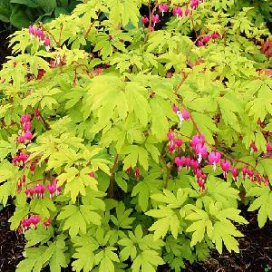 DICENTRA spectabilis 'Gold Heart'