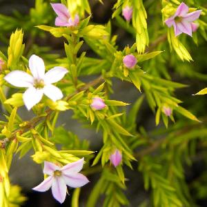 DIOSMA hirsuta 'Sunset Gold'