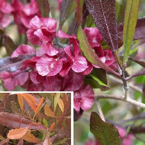 DODONAEA viscosa 'Purpurea'