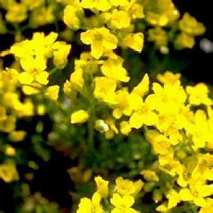 DRABA bruniifolia (olympica)