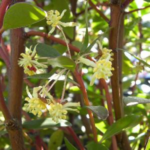 DRIMYS lanceolata (=aromatica)