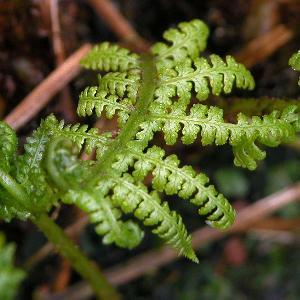 DRYOPTERIS filix-mas 'Linearis Polydactyla'
