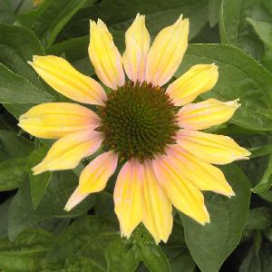 ECHINACEA 'Evening Glow'®