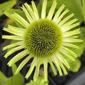 ECHINACEA 'Green Jewel'®