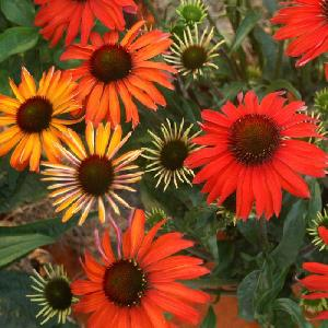 ECHINACEA 'Hot Summer'®